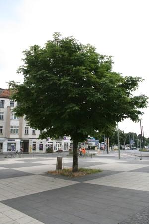 Der Caligariplatz in Pankow-Weissensee. Mit Baum.